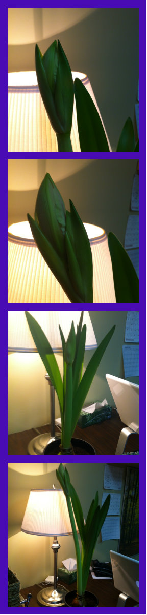 Espy, the resident amaryllis at Bergen and Associates Counselling in Winnipeg is growing steadily