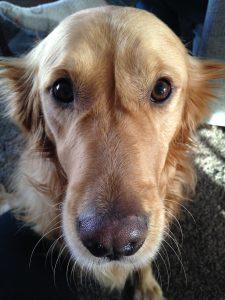 Leia, the tripod dog. Close up