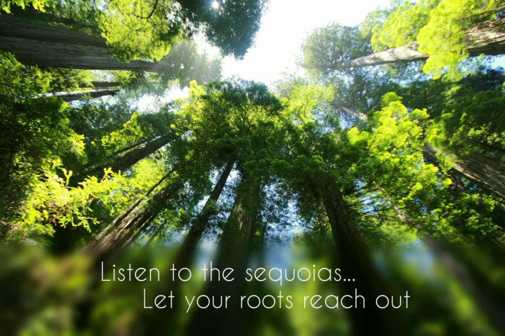 Listen to the sequoias...let your roots reach out on background of beautiful sequoia trees on TEDx talk Carolyn Klassen